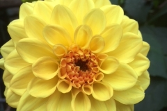 Dahlia-geel