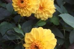 Dahlia-geel6