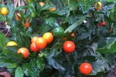 Solanum-Thurino
