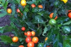 Solanum-Thurino2
